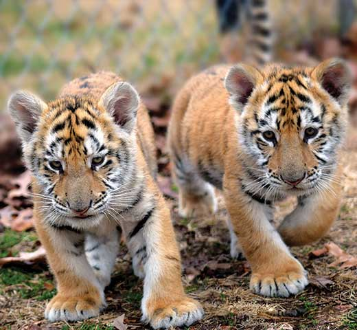 Help Tiger World and Adopt a animal